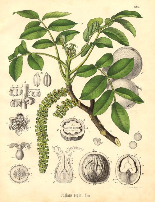 21927juglandaceae-juglans-regia