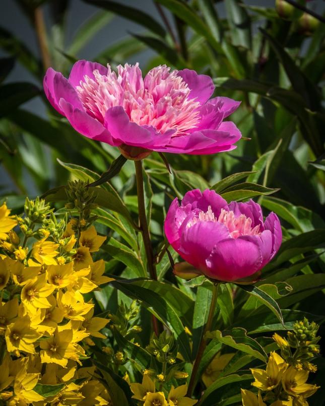 Dahlias and Yellow Loosestrife