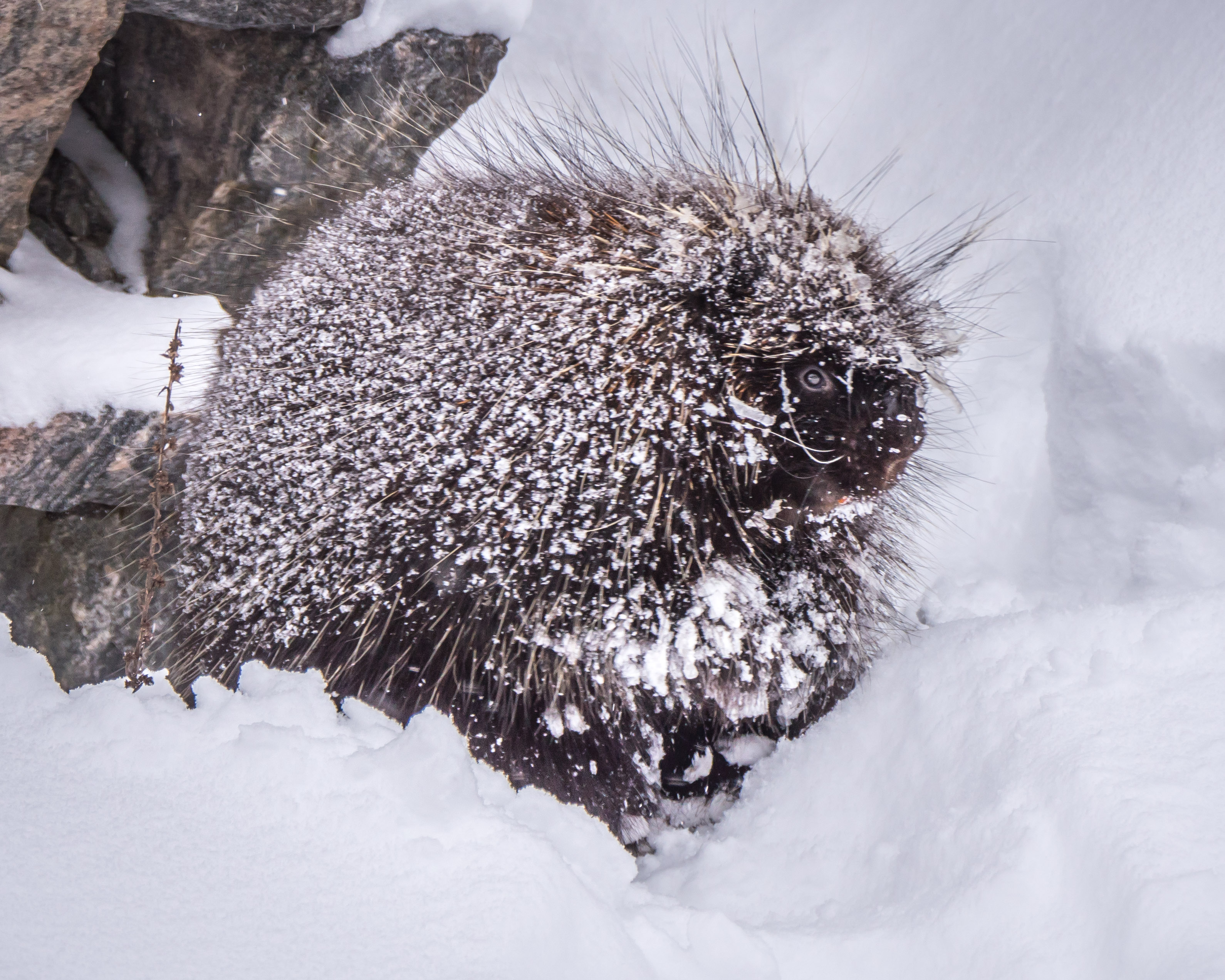 20161218 more snow a porcupine and some sunshine