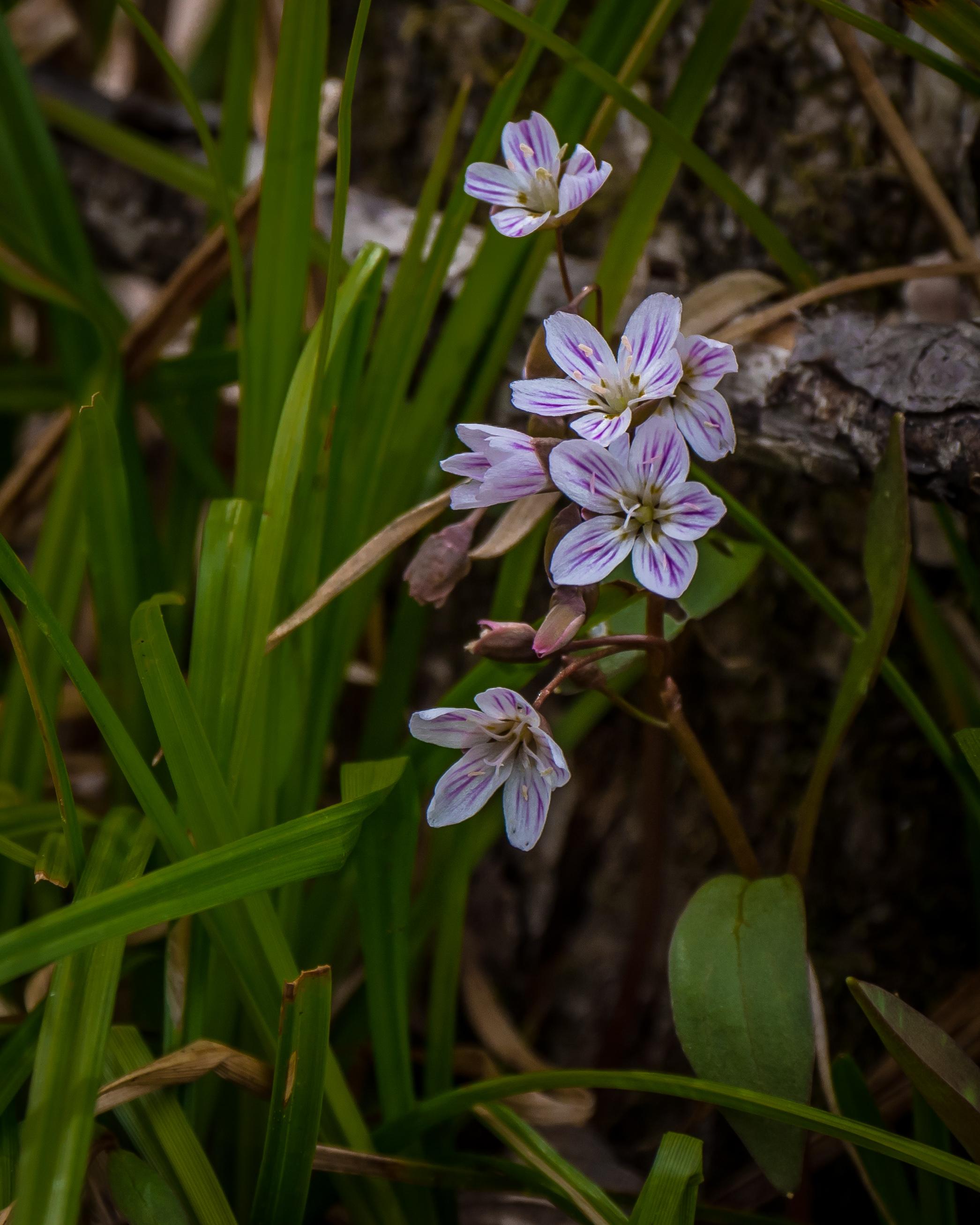 20170504 Honeysuckle Carolina Spring Beauty Trout Lily Trillium