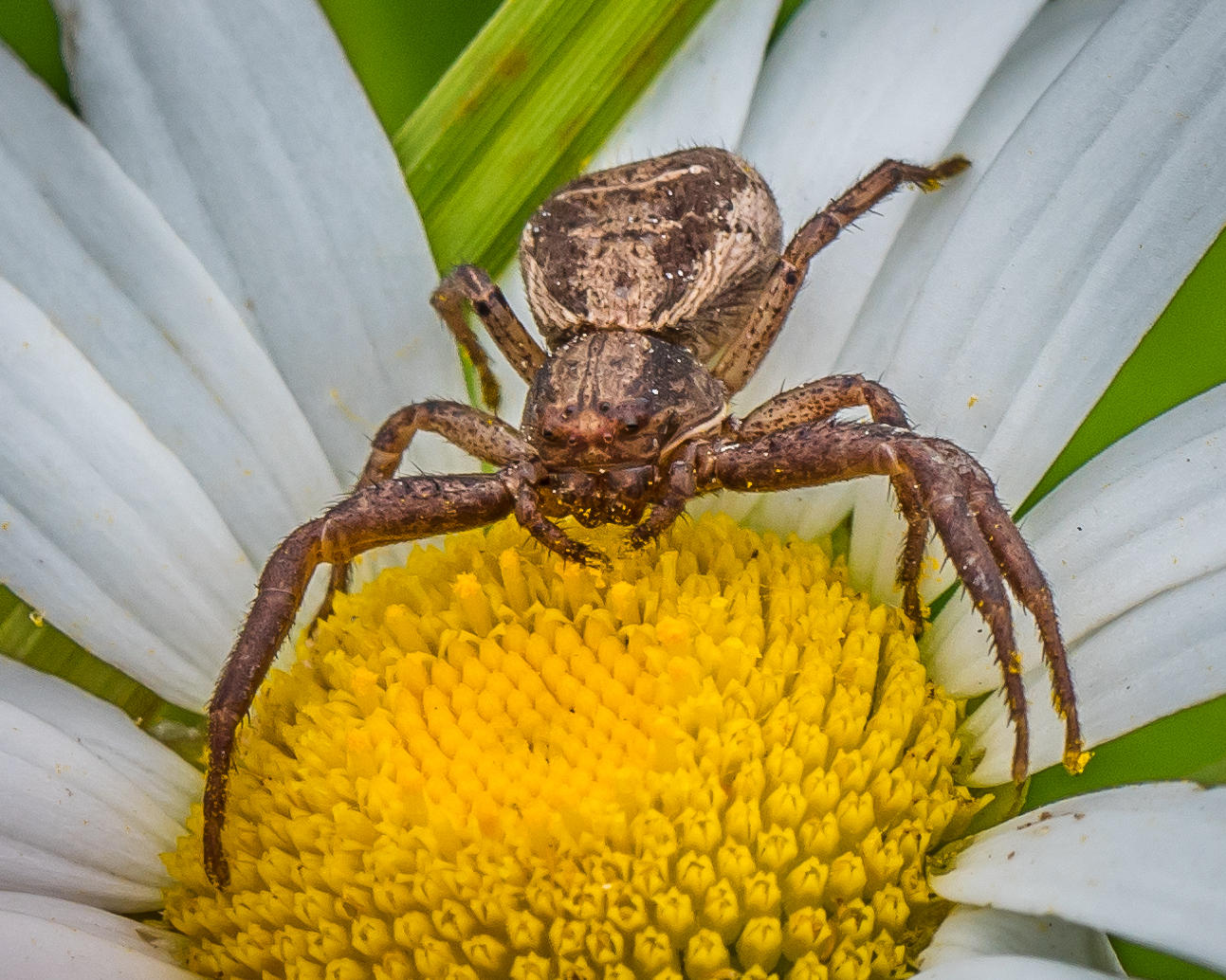 Crab spider preying bumble bee garden spiders spiders flower spiders - A Break From The Bugs
